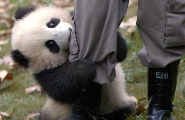 Come si accudiscono i cuccioli di panda in Cina (VIDEO)
